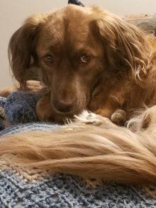 Brown, furry dog.
